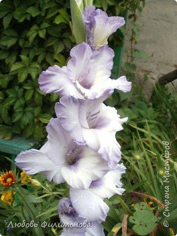 Как не печально, но до конца лета осталось чуть меньше двух недель. Уже второй год оно не радует наш край теплом, часто шли дожди. Но все равно так жаль с ним расставаться. Я хочу пригласить вас в гости, прогуляться по моему саду, полюбоваться цветами. Королева сада - роза, самый узнаваемый и любимый цветок. фото 25