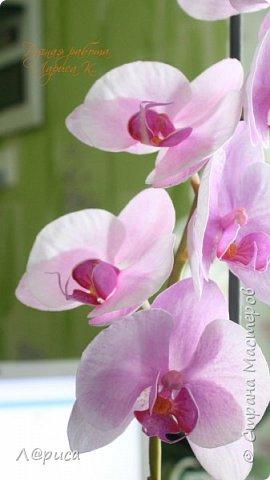 Привет СМ. Я к вам снова с орхидейками, они пока не идеальны, но я продолжаю учиться:) фото 11