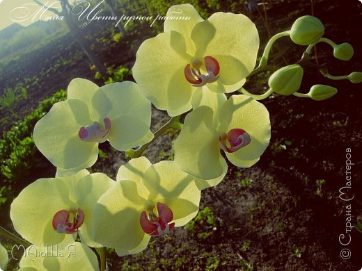 Здравствуйте, жители страны!!! Орхидейная феерия №2, так я её назвала, т к не успеваю показать каждую в отдельности. Эта запись посвящена моим работам над орхидеями за последнее время. фото 8