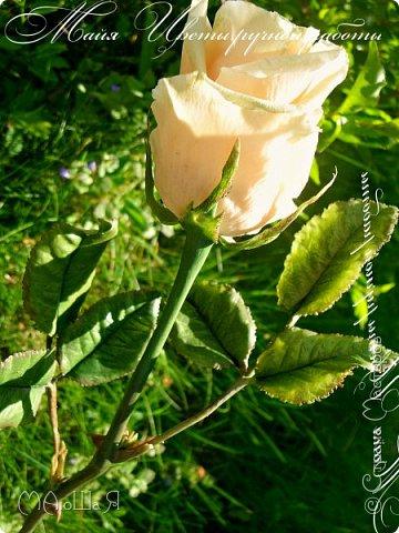 Здравствуйте! Букет роз сорта Талея очень полюбившийся мной. Помог мне в создании этих прекрасных цветов мастер класс Инны Голубевой, за что ей огромное спасибо! фото 6