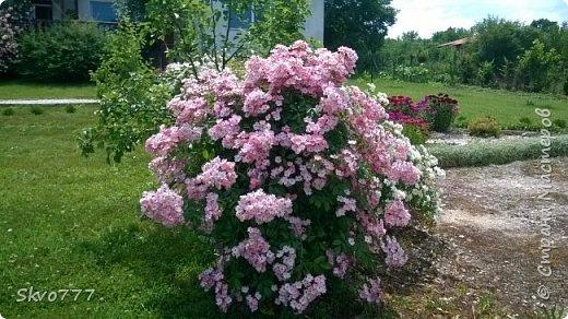 Шток-роза фото 7