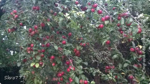 Шток-роза фото 18