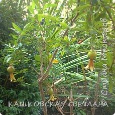 Гранат, Гранатник, Гранатовое дерево – так называется растение, плоды которого так красивы, вкусны и полезны, и знакомы всем как гранаты.   А началось с того, что соседка отдала засохший кустик, честно говоря думала, что это спирея, листики тоненькие,хоть и сухие. Ну решила выживет так выживет,  посадила в полутень , обрезала сухие веточки и на время забыла. Было еще две веточки, оказались лимон и апельсин, привезли с Абхазии и забыли про них, к сожалению реанимировать мне их не удалось.  фото 7