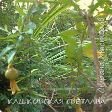 Гранат, Гранатник, Гранатовое дерево – так называется растение, плоды которого так красивы, вкусны и полезны, и знакомы всем как гранаты.   А началось с того, что соседка отдала засохший кустик, честно говоря думала, что это спирея, листики тоненькие,хоть и сухие. Ну решила выживет так выживет,  посадила в полутень , обрезала сухие веточки и на время забыла. Было еще две веточки, оказались лимон и апельсин, привезли с Абхазии и забыли про них, к сожалению реанимировать мне их не удалось.  фото 8