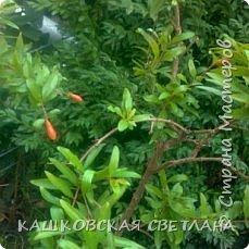 Гранат, Гранатник, Гранатовое дерево – так называется растение, плоды которого так красивы, вкусны и полезны, и знакомы всем как гранаты.   А началось с того, что соседка отдала засохший кустик, честно говоря думала, что это спирея, листики тоненькие,хоть и сухие. Ну решила выживет так выживет,  посадила в полутень , обрезала сухие веточки и на время забыла. Было еще две веточки, оказались лимон и апельсин, привезли с Абхазии и забыли про них, к сожалению реанимировать мне их не удалось.  фото 1