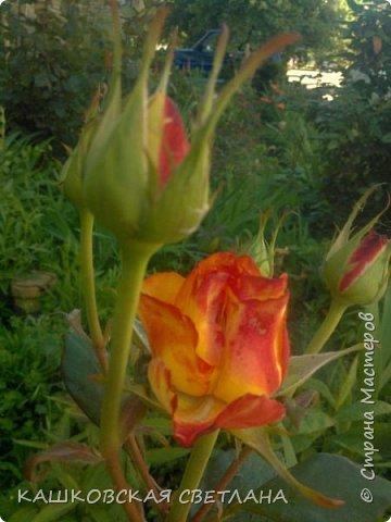 Девочки, приглашаю вас на прогулку по моим цветулькам. Фото будет много. Сегодня день роз. Сразу извиняюсь, что без названий. Какие-то покупались у бабулек на рынке, много роз из чубуков и отростков. Живу в обычной пятиэтажке. Это плетистые белая и красная, красная цветет первый раз. В этом году еще посадила чубуками желтую и розовую крупные плетистые, главная проблема лето пережить-пережили , а зиму все хорошо переживают.  фото 10