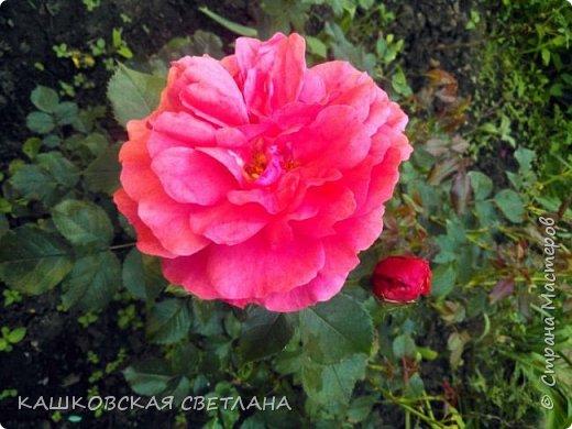 Девочки, приглашаю вас на прогулку по моим цветулькам. Фото будет много. Сегодня день роз. Сразу извиняюсь, что без названий. Какие-то покупались у бабулек на рынке, много роз из чубуков и отростков. Живу в обычной пятиэтажке. Это плетистые белая и красная, красная цветет первый раз. В этом году еще посадила чубуками желтую и розовую крупные плетистые, главная проблема лето пережить-пережили , а зиму все хорошо переживают.  фото 3