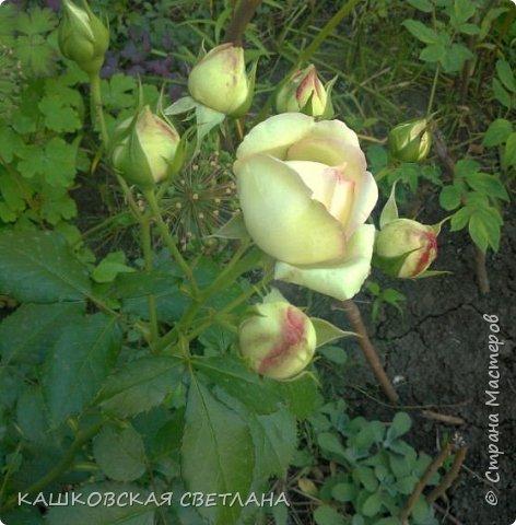 Девочки, приглашаю вас на прогулку по моим цветулькам. Фото будет много. Сегодня день роз. Сразу извиняюсь, что без названий. Какие-то покупались у бабулек на рынке, много роз из чубуков и отростков. Живу в обычной пятиэтажке. Это плетистые белая и красная, красная цветет первый раз. В этом году еще посадила чубуками желтую и розовую крупные плетистые, главная проблема лето пережить-пережили , а зиму все хорошо переживают.  фото 21