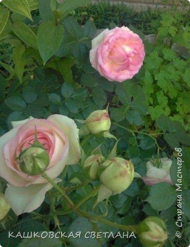 Девочки, приглашаю вас на прогулку по моим цветулькам. Фото будет много. Сегодня день роз. Сразу извиняюсь, что без названий. Какие-то покупались у бабулек на рынке, много роз из чубуков и отростков. Живу в обычной пятиэтажке. Это плетистые белая и красная, красная цветет первый раз. В этом году еще посадила чубуками желтую и розовую крупные плетистые, главная проблема лето пережить-пережили , а зиму все хорошо переживают.  фото 22
