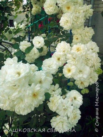 Девочки, приглашаю вас на прогулку по моим цветулькам. Фото будет много. Сегодня день роз. Сразу извиняюсь, что без названий. Какие-то покупались у бабулек на рынке, много роз из чубуков и отростков. Живу в обычной пятиэтажке. Это плетистые белая и красная, красная цветет первый раз. В этом году еще посадила чубуками желтую и розовую крупные плетистые, главная проблема лето пережить-пережили , а зиму все хорошо переживают.  фото 5