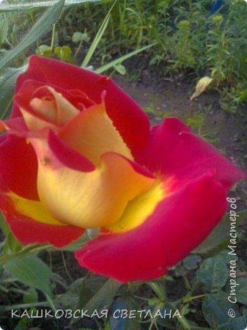 Девочки, приглашаю вас на прогулку по моим цветулькам. Фото будет много. Сегодня день роз. Сразу извиняюсь, что без названий. Какие-то покупались у бабулек на рынке, много роз из чубуков и отростков. Живу в обычной пятиэтажке. Это плетистые белая и красная, красная цветет первый раз. В этом году еще посадила чубуками желтую и розовую крупные плетистые, главная проблема лето пережить-пережили , а зиму все хорошо переживают.  фото 11