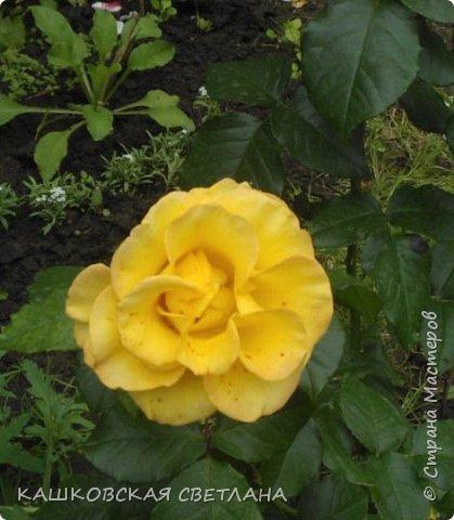 Девочки, приглашаю вас на прогулку по моим цветулькам. Фото будет много. Сегодня день роз. Сразу извиняюсь, что без названий. Какие-то покупались у бабулек на рынке, много роз из чубуков и отростков. Живу в обычной пятиэтажке. Это плетистые белая и красная, красная цветет первый раз. В этом году еще посадила чубуками желтую и розовую крупные плетистые, главная проблема лето пережить-пережили , а зиму все хорошо переживают.  фото 25