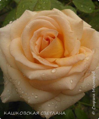 Девочки, приглашаю вас на прогулку по моим цветулькам. Фото будет много. Сегодня день роз. Сразу извиняюсь, что без названий. Какие-то покупались у бабулек на рынке, много роз из чубуков и отростков. Живу в обычной пятиэтажке. Это плетистые белая и красная, красная цветет первый раз. В этом году еще посадила чубуками желтую и розовую крупные плетистые, главная проблема лето пережить-пережили , а зиму все хорошо переживают.  фото 26