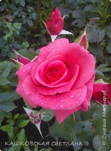 Девочки, приглашаю вас на прогулку по моим цветулькам. Фото будет много. Сегодня день роз. Сразу извиняюсь, что без названий. Какие-то покупались у бабулек на рынке, много роз из чубуков и отростков. Живу в обычной пятиэтажке. Это плетистые белая и красная, красная цветет первый раз. В этом году еще посадила чубуками желтую и розовую крупные плетистые, главная проблема лето пережить-пережили , а зиму все хорошо переживают.  фото 24