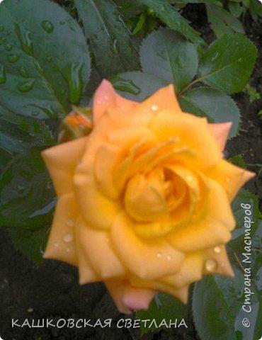 Девочки, приглашаю вас на прогулку по моим цветулькам. Фото будет много. Сегодня день роз. Сразу извиняюсь, что без названий. Какие-то покупались у бабулек на рынке, много роз из чубуков и отростков. Живу в обычной пятиэтажке. Это плетистые белая и красная, красная цветет первый раз. В этом году еще посадила чубуками желтую и розовую крупные плетистые, главная проблема лето пережить-пережили , а зиму все хорошо переживают.  фото 27