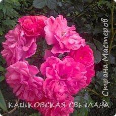 Девочки, приглашаю вас на прогулку по моим цветулькам. Фото будет много. Сегодня день роз. Сразу извиняюсь, что без названий. Какие-то покупались у бабулек на рынке, много роз из чубуков и отростков. Живу в обычной пятиэтажке. Это плетистые белая и красная, красная цветет первый раз. В этом году еще посадила чубуками желтую и розовую крупные плетистые, главная проблема лето пережить-пережили , а зиму все хорошо переживают.  фото 4