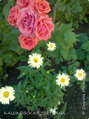 Девочки, приглашаю вас на прогулку по моим цветулькам. Фото будет много. Сегодня день роз. Сразу извиняюсь, что без названий. Какие-то покупались у бабулек на рынке, много роз из чубуков и отростков. Живу в обычной пятиэтажке. Это плетистые белая и красная, красная цветет первый раз. В этом году еще посадила чубуками желтую и розовую крупные плетистые, главная проблема лето пережить-пережили , а зиму все хорошо переживают.  фото 28