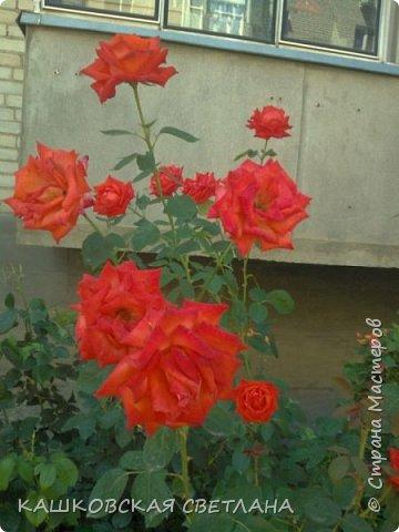 Девочки, приглашаю вас на прогулку по моим цветулькам. Фото будет много. Сегодня день роз. Сразу извиняюсь, что без названий. Какие-то покупались у бабулек на рынке, много роз из чубуков и отростков. Живу в обычной пятиэтажке. Это плетистые белая и красная, красная цветет первый раз. В этом году еще посадила чубуками желтую и розовую крупные плетистые, главная проблема лето пережить-пережили , а зиму все хорошо переживают.  фото 29