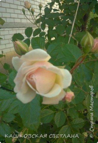 Девочки, приглашаю вас на прогулку по моим цветулькам. Фото будет много. Сегодня день роз. Сразу извиняюсь, что без названий. Какие-то покупались у бабулек на рынке, много роз из чубуков и отростков. Живу в обычной пятиэтажке. Это плетистые белая и красная, красная цветет первый раз. В этом году еще посадила чубуками желтую и розовую крупные плетистые, главная проблема лето пережить-пережили , а зиму все хорошо переживают.  фото 6
