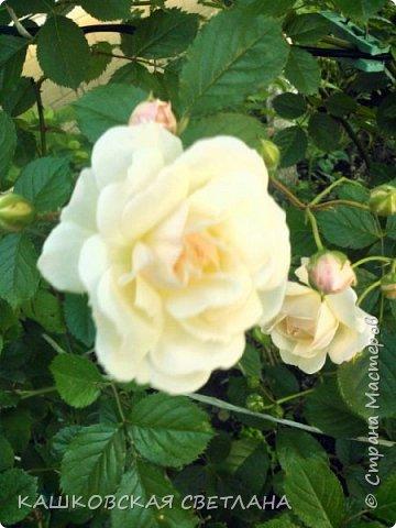 Девочки, приглашаю вас на прогулку по моим цветулькам. Фото будет много. Сегодня день роз. Сразу извиняюсь, что без названий. Какие-то покупались у бабулек на рынке, много роз из чубуков и отростков. Живу в обычной пятиэтажке. Это плетистые белая и красная, красная цветет первый раз. В этом году еще посадила чубуками желтую и розовую крупные плетистые, главная проблема лето пережить-пережили , а зиму все хорошо переживают.  фото 7