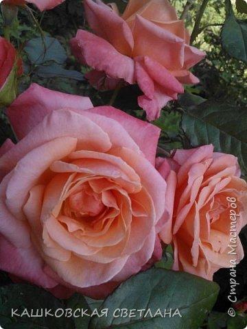 Девочки, приглашаю вас на прогулку по моим цветулькам. Фото будет много. Сегодня день роз. Сразу извиняюсь, что без названий. Какие-то покупались у бабулек на рынке, много роз из чубуков и отростков. Живу в обычной пятиэтажке. Это плетистые белая и красная, красная цветет первый раз. В этом году еще посадила чубуками желтую и розовую крупные плетистые, главная проблема лето пережить-пережили , а зиму все хорошо переживают.  фото 31