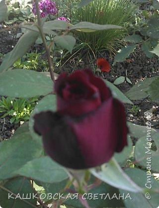 Девочки, приглашаю вас на прогулку по моим цветулькам. Фото будет много. Сегодня день роз. Сразу извиняюсь, что без названий. Какие-то покупались у бабулек на рынке, много роз из чубуков и отростков. Живу в обычной пятиэтажке. Это плетистые белая и красная, красная цветет первый раз. В этом году еще посадила чубуками желтую и розовую крупные плетистые, главная проблема лето пережить-пережили , а зиму все хорошо переживают.  фото 15