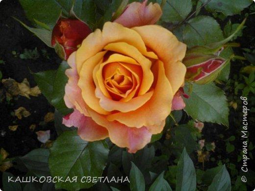 Девочки, приглашаю вас на прогулку по моим цветулькам. Фото будет много. Сегодня день роз. Сразу извиняюсь, что без названий. Какие-то покупались у бабулек на рынке, много роз из чубуков и отростков. Живу в обычной пятиэтажке. Это плетистые белая и красная, красная цветет первый раз. В этом году еще посадила чубуками желтую и розовую крупные плетистые, главная проблема лето пережить-пережили , а зиму все хорошо переживают.  фото 32