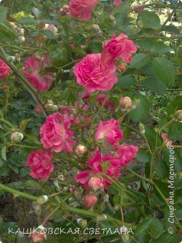 Девочки, приглашаю вас на прогулку по моим цветулькам. Фото будет много. Сегодня день роз. Сразу извиняюсь, что без названий. Какие-то покупались у бабулек на рынке, много роз из чубуков и отростков. Живу в обычной пятиэтажке. Это плетистые белая и красная, красная цветет первый раз. В этом году еще посадила чубуками желтую и розовую крупные плетистые, главная проблема лето пережить-пережили , а зиму все хорошо переживают.  фото 17
