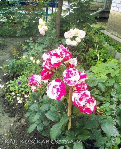 Девочки, приглашаю вас на прогулку по моим цветулькам. Фото будет много. Сегодня день роз. Сразу извиняюсь, что без названий. Какие-то покупались у бабулек на рынке, много роз из чубуков и отростков. Живу в обычной пятиэтажке. Это плетистые белая и красная, красная цветет первый раз. В этом году еще посадила чубуками желтую и розовую крупные плетистые, главная проблема лето пережить-пережили , а зиму все хорошо переживают.  фото 33