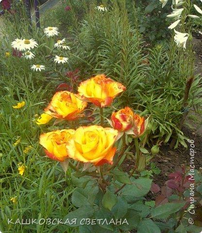 Девочки, приглашаю вас на прогулку по моим цветулькам. Фото будет много. Сегодня день роз. Сразу извиняюсь, что без названий. Какие-то покупались у бабулек на рынке, много роз из чубуков и отростков. Живу в обычной пятиэтажке. Это плетистые белая и красная, красная цветет первый раз. В этом году еще посадила чубуками желтую и розовую крупные плетистые, главная проблема лето пережить-пережили , а зиму все хорошо переживают.  фото 12