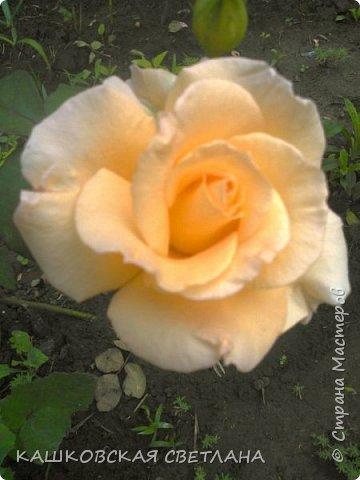 Девочки, приглашаю вас на прогулку по моим цветулькам. Фото будет много. Сегодня день роз. Сразу извиняюсь, что без названий. Какие-то покупались у бабулек на рынке, много роз из чубуков и отростков. Живу в обычной пятиэтажке. Это плетистые белая и красная, красная цветет первый раз. В этом году еще посадила чубуками желтую и розовую крупные плетистые, главная проблема лето пережить-пережили , а зиму все хорошо переживают.  фото 35