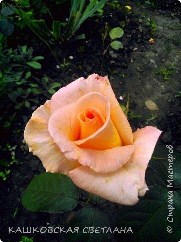 Девочки, приглашаю вас на прогулку по моим цветулькам. Фото будет много. Сегодня день роз. Сразу извиняюсь, что без названий. Какие-то покупались у бабулек на рынке, много роз из чубуков и отростков. Живу в обычной пятиэтажке. Это плетистые белая и красная, красная цветет первый раз. В этом году еще посадила чубуками желтую и розовую крупные плетистые, главная проблема лето пережить-пережили , а зиму все хорошо переживают.  фото 36