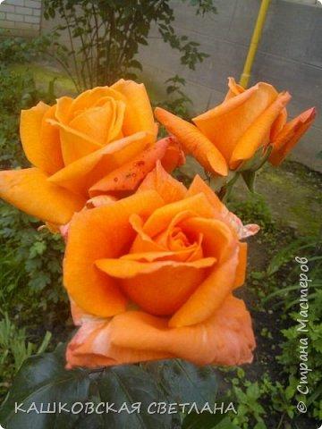 Девочки, приглашаю вас на прогулку по моим цветулькам. Фото будет много. Сегодня день роз. Сразу извиняюсь, что без названий. Какие-то покупались у бабулек на рынке, много роз из чубуков и отростков. Живу в обычной пятиэтажке. Это плетистые белая и красная, красная цветет первый раз. В этом году еще посадила чубуками желтую и розовую крупные плетистые, главная проблема лето пережить-пережили , а зиму все хорошо переживают.  фото 39