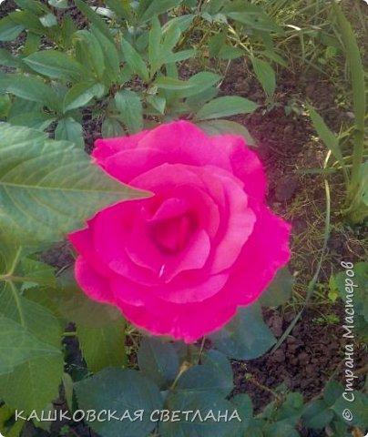 Девочки, приглашаю вас на прогулку по моим цветулькам. Фото будет много. Сегодня день роз. Сразу извиняюсь, что без названий. Какие-то покупались у бабулек на рынке, много роз из чубуков и отростков. Живу в обычной пятиэтажке. Это плетистые белая и красная, красная цветет первый раз. В этом году еще посадила чубуками желтую и розовую крупные плетистые, главная проблема лето пережить-пережили , а зиму все хорошо переживают.  фото 18