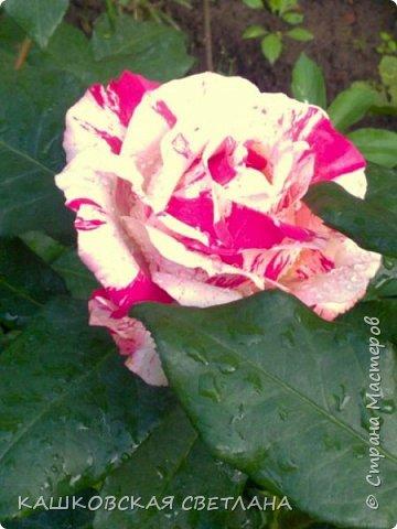 Девочки, приглашаю вас на прогулку по моим цветулькам. Фото будет много. Сегодня день роз. Сразу извиняюсь, что без названий. Какие-то покупались у бабулек на рынке, много роз из чубуков и отростков. Живу в обычной пятиэтажке. Это плетистые белая и красная, красная цветет первый раз. В этом году еще посадила чубуками желтую и розовую крупные плетистые, главная проблема лето пережить-пережили , а зиму все хорошо переживают.  фото 38