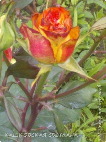 Девочки, приглашаю вас на прогулку по моим цветулькам. Фото будет много. Сегодня день роз. Сразу извиняюсь, что без названий. Какие-то покупались у бабулек на рынке, много роз из чубуков и отростков. Живу в обычной пятиэтажке. Это плетистые белая и красная, красная цветет первый раз. В этом году еще посадила чубуками желтую и розовую крупные плетистые, главная проблема лето пережить-пережили , а зиму все хорошо переживают.  фото 13