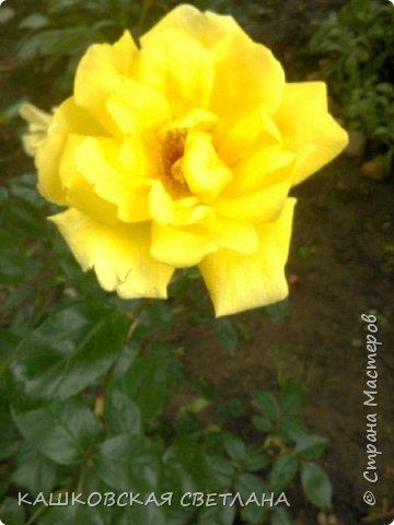 Девочки, приглашаю вас на прогулку по моим цветулькам. Фото будет много. Сегодня день роз. Сразу извиняюсь, что без названий. Какие-то покупались у бабулек на рынке, много роз из чубуков и отростков. Живу в обычной пятиэтажке. Это плетистые белая и красная, красная цветет первый раз. В этом году еще посадила чубуками желтую и розовую крупные плетистые, главная проблема лето пережить-пережили , а зиму все хорошо переживают.  фото 47