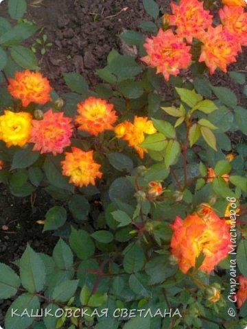 Девочки, приглашаю вас на прогулку по моим цветулькам. Фото будет много. Сегодня день роз. Сразу извиняюсь, что без названий. Какие-то покупались у бабулек на рынке, много роз из чубуков и отростков. Живу в обычной пятиэтажке. Это плетистые белая и красная, красная цветет первый раз. В этом году еще посадила чубуками желтую и розовую крупные плетистые, главная проблема лето пережить-пережили , а зиму все хорошо переживают.  фото 8