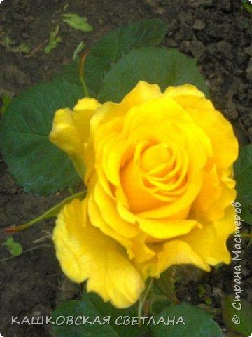 Девочки, приглашаю вас на прогулку по моим цветулькам. Фото будет много. Сегодня день роз. Сразу извиняюсь, что без названий. Какие-то покупались у бабулек на рынке, много роз из чубуков и отростков. Живу в обычной пятиэтажке. Это плетистые белая и красная, красная цветет первый раз. В этом году еще посадила чубуками желтую и розовую крупные плетистые, главная проблема лето пережить-пережили , а зиму все хорошо переживают.  фото 43