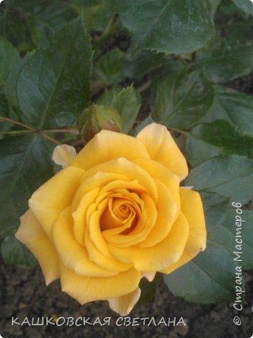 Девочки, приглашаю вас на прогулку по моим цветулькам. Фото будет много. Сегодня день роз. Сразу извиняюсь, что без названий. Какие-то покупались у бабулек на рынке, много роз из чубуков и отростков. Живу в обычной пятиэтажке. Это плетистые белая и красная, красная цветет первый раз. В этом году еще посадила чубуками желтую и розовую крупные плетистые, главная проблема лето пережить-пережили , а зиму все хорошо переживают.  фото 44