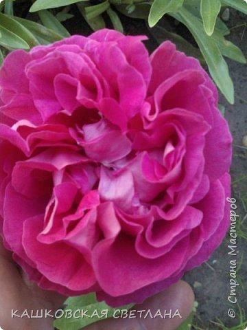 Девочки, приглашаю вас на прогулку по моим цветулькам. Фото будет много. Сегодня день роз. Сразу извиняюсь, что без названий. Какие-то покупались у бабулек на рынке, много роз из чубуков и отростков. Живу в обычной пятиэтажке. Это плетистые белая и красная, красная цветет первый раз. В этом году еще посадила чубуками желтую и розовую крупные плетистые, главная проблема лето пережить-пережили , а зиму все хорошо переживают.  фото 20