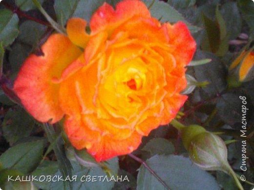 Девочки, приглашаю вас на прогулку по моим цветулькам. Фото будет много. Сегодня день роз. Сразу извиняюсь, что без названий. Какие-то покупались у бабулек на рынке, много роз из чубуков и отростков. Живу в обычной пятиэтажке. Это плетистые белая и красная, красная цветет первый раз. В этом году еще посадила чубуками желтую и розовую крупные плетистые, главная проблема лето пережить-пережили , а зиму все хорошо переживают.  фото 9
