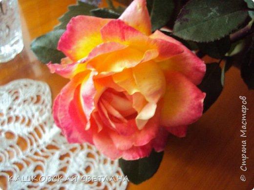 Девочки, приглашаю вас на прогулку по моим цветулькам. Фото будет много. Сегодня день роз. Сразу извиняюсь, что без названий. Какие-то покупались у бабулек на рынке, много роз из чубуков и отростков. Живу в обычной пятиэтажке. Это плетистые белая и красная, красная цветет первый раз. В этом году еще посадила чубуками желтую и розовую крупные плетистые, главная проблема лето пережить-пережили , а зиму все хорошо переживают.  фото 46