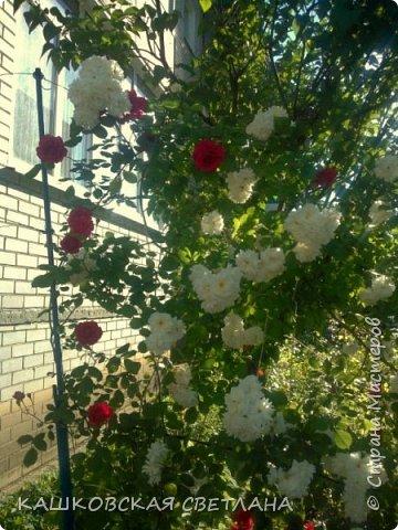 Девочки, приглашаю вас на прогулку по моим цветулькам. Фото будет много. Сегодня день роз. Сразу извиняюсь, что без названий. Какие-то покупались у бабулек на рынке, много роз из чубуков и отростков. Живу в обычной пятиэтажке. Это плетистые белая и красная, красная цветет первый раз. В этом году еще посадила чубуками желтую и розовую крупные плетистые, главная проблема лето пережить-пережили , а зиму все хорошо переживают.  фото 1
