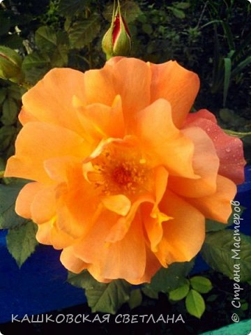 Девочки, приглашаю вас на прогулку по моим цветулькам. Фото будет много. Сегодня день роз. Сразу извиняюсь, что без названий. Какие-то покупались у бабулек на рынке, много роз из чубуков и отростков. Живу в обычной пятиэтажке. Это плетистые белая и красная, красная цветет первый раз. В этом году еще посадила чубуками желтую и розовую крупные плетистые, главная проблема лето пережить-пережили , а зиму все хорошо переживают.  фото 2