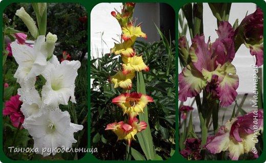 Здравствуйте мастера и гости Страны! В моем цветочном саду выросли гладиолусы, правда всего три (боялась за них браться). Представляю их на ваш суд. фото 5