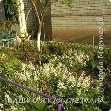 Покажу вам мой раек и соседский заодно. Клумбы вдоль дома идут. Нашла у себя старенькие фотки, сейчас много новых цветов появилось.  фото 15