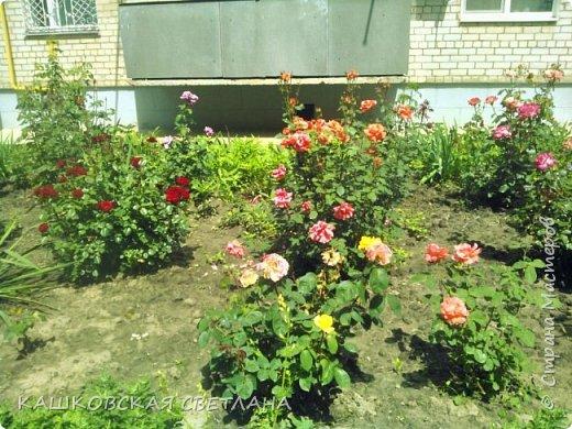 Покажу вам мой раек и соседский заодно. Клумбы вдоль дома идут. Нашла у себя старенькие фотки, сейчас много новых цветов появилось.  фото 5