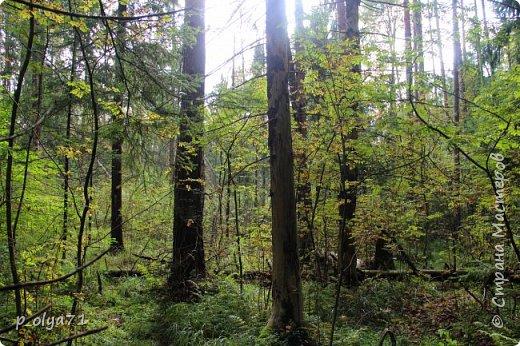 Здравствуйте!!! Погода сейчас стоит отличная,солнечно,очень тепло! Но и дождики не забывают поливать)) Вот после дождя мы и собрались в лес,14сентября.Долго не планировали гулять,походили часа полтора. Я фотографировала,муж собирал))) Набрали несколько белых,подберёзовиков-черноголовиков, и немного опят (все резать не стали,совсем уж махонькие,да и не жадные мы - взяли,сколько нам надо было))). фото 1