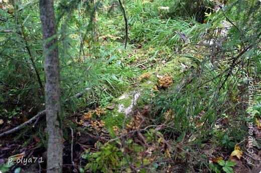 Здравствуйте!!! Погода сейчас стоит отличная,солнечно,очень тепло! Но и дождики не забывают поливать)) Вот после дождя мы и собрались в лес,14сентября.Долго не планировали гулять,походили часа полтора. Я фотографировала,муж собирал))) Набрали несколько белых,подберёзовиков-черноголовиков, и немного опят (все резать не стали,совсем уж махонькие,да и не жадные мы - взяли,сколько нам надо было))). фото 11